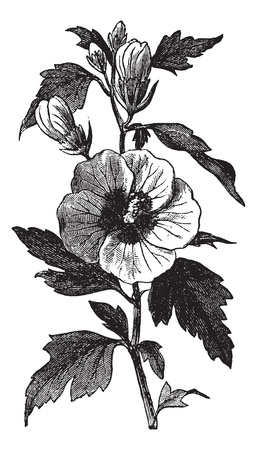 Garden hibiscus (Hibiscus syriacus) or Shrub Althea or Rose of Sharon or Rose Althea vintage engraving. Old engraved illustration of Hibiscus syriacus.