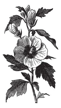 Jardin d'hibiscus (Hibiscus syriacus) ou d'un arbuste ou Althea Rose de Sharon ou Rose Althea Gravure millésime. Vieux illustration gravée de syriacus Hibiscus. Banque d'images - 13770302