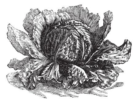 leaf lettuce: Lettuce (Lactuca sativa) vintage engraving. Old engraved illustration of lettuce isolated on white. Illustration