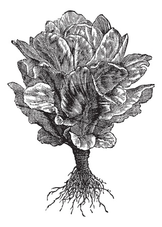 lactuca: Romaine or Cos lettuce (Lactuca sativa) vintage engraving. Old engraved illustration of Romaine lettuce isolated on white.