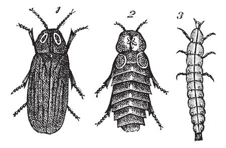 Lampyris splendidule (Lampyris splendidula) vintage engraving. Old engraved illustration of Lampyris splendidule (Lampyris splendidula) 1. male 2. female 3. larva. Stock Vector - 13767063