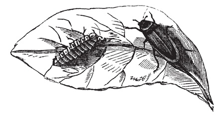 Glow worm (Lampyris Noctiluca) on leaf vintage engraving. Old engraved illustration of glow worms on leaf.