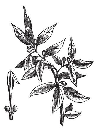 Bay leaves (Laurus nobilis) or sweet bay or bay tree or true laurel or grecian laurel or laurel tree, vintage engraved illustration. Trousset encyclopedia (1886 - 1891). Çizim