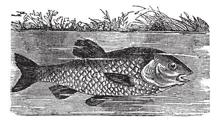 Leuciscus cephalus or European chub or Round chub or Fat chub or chevin or pollard, vintage engraved illustration. Trousset encyclopedia (1886 - 1891). Vector