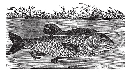 a freshwater fish: Leuciscus cephalus or European chub or Round chub or Fat chub or chevin or pollard, vintage engraved illustration. Trousset encyclopedia (1886 - 1891).
