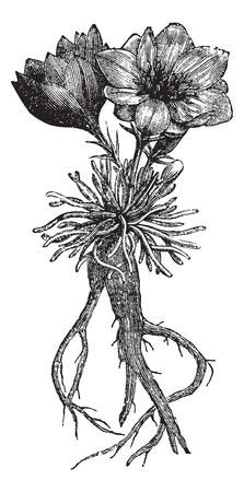 Lewisia rediviva or bitterroot, vintage engraved illustration. Trousset encyclopedia (1886 - 1891).