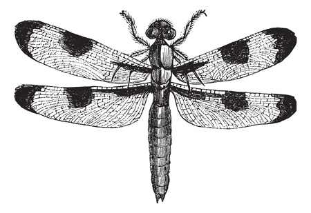 etching pattern: Dragonfly three spots (libellula trimaculata), vintage engraved illustration. Trousset encyclopedia (1886 - 1891).
