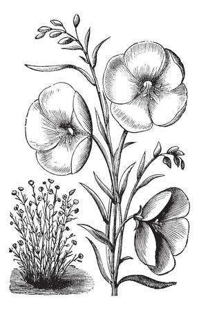 flax: Linum grandiflorum or Red flax or scarlet flax or crimson flax vintage engraved illustration. Trousset encyclopedia (1886 - 1891).