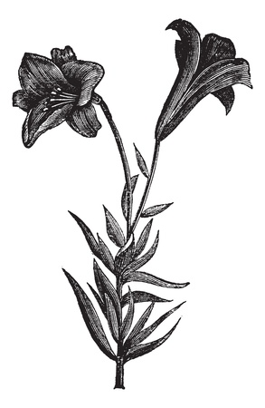 Beautiful long flowered lily, vintage engraved illustration. Trousset encyclopedia (1886 - 1891).