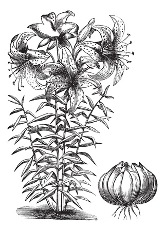 lilium: Gilded lily (Lilium auratum), vintage engraved illustration. Trousset encyclopedia (1886 - 1891).