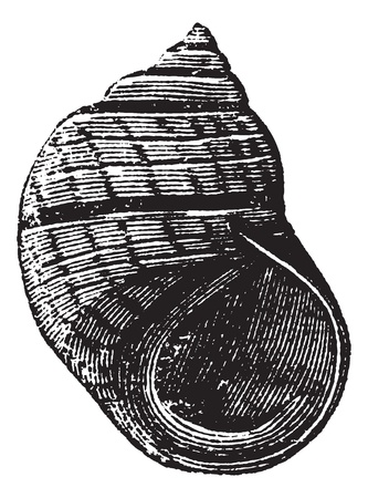 Littorina compressa or Littorina rudis or Litorina macerwinii or Litorina merwinii or Littorina saxatilis nigrolineata or Turbo sulcatus or Jugosoides, vintage engraving. Old engraved illustration of Littorina compressa isolated on a white background.   Vector