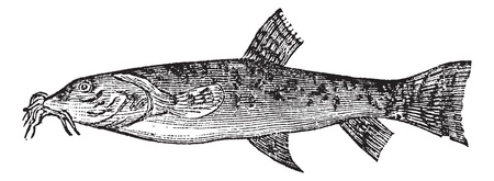 loach: Stone loach or Barbatula barbatula or Nemacheilus barbatulus, vintage engraving. Old engraved illustration of Stone loach isolated on a white background.