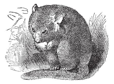 헤이젤 Dormouse 또는 Muscardinus avellanarius 또는 일반적인 Dormouse, 빈티지 조각. 초원에서 먹는 헤이젤 Dormouse의 오래 된 새겨진 된 그림.