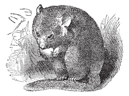 dormouse: Hazel Dormouse or Muscardinus avellanarius or Common Dormouse, vintage engraving. Old engraved illustration of Hazel Dormouse eating in the meadow.