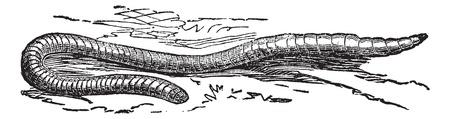 lombriz de tierra: Lumbricus terrestris o lombriz de tierra común o un gusano Vitalis o de rocío o un gusano Lob, el grabado de la vendimia. Ilustración del Antiguo grabado de Lumbricus terrestris.