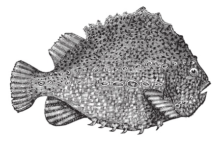 Lumpsucker or Cyclopterus lumpus or lumpfish, vintage engraving. Old engraved illustration of Lumpsucker isolated on a white background.