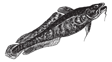 burbot: Burbot or Lota lota or Mariah, the lawyer, vintage engraving. Old engraved illustration of Burbot isolated on a white background.