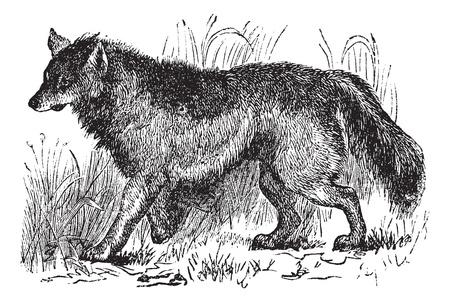 Coyote of Canis latrans of Amerikaanse jakhals of Prairie wolf, vintage graveren. Oude gegraveerde illustratie van Coyote lopen in de wei.