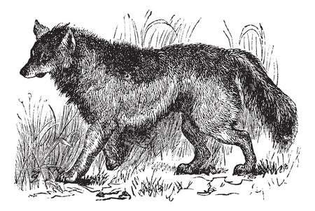 coyote: Coyote or Canis latrans or American jackal or Prairie wolf, vintage engraving. Old engraved illustration of Coyote walking in the meadow.