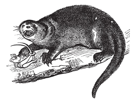 North American river otter or Lontra canadensis or American otter or Lutra canadensis or Northern river otter or Common otter or Prince of Wales or Fish otter or Canadian otter or Nearctic river otter or land otter, vintage engraving.  Old engraved illust Stock Vector - 13770741