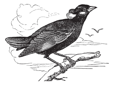omnivorous: Common Hill Myna or Gracula religiosa or Mynah or Hill Myna, vintage engraving. Old engraved illustration of Common Hill Myna waiting on a branch and two other birds flying in the background. Illustration