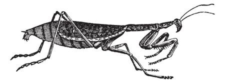 レトロ: 欧州カマキリまたはカマキリ湯通しまたは祈るカマキリ、ヴィンテージの彫刻。欧州カマキリの白い背景で隔離の古い彫刻が施された図。