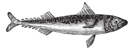 scombridae: Atlantic mackerel or Scomber scombrus or Boston mackerel or Mackerel, vintage engraving. Old engraved illustration of Atlantic mackerel isolated on a white background.