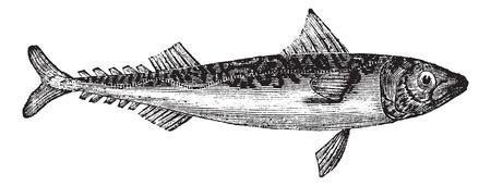 La caballa del Atlántico o la caballa Scomber scombrus o Boston o la caballa, el grabado de la vendimia. Ilustración del Antiguo grabado de la caballa del Atlántico aislado en un fondo blanco.