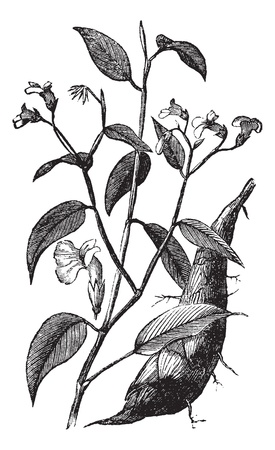 obedience: Arrowroot or Maranta arundinacea or Obedience plant, vintage engraving. Old engraved illustration of Arrowroot isolated on a white background. Illustration