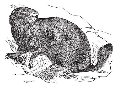marmot: Alpine Marmot or Marmota marmota, vintage engraving. Old engraved illustration of Alpine Marmot in the meadow. Illustration