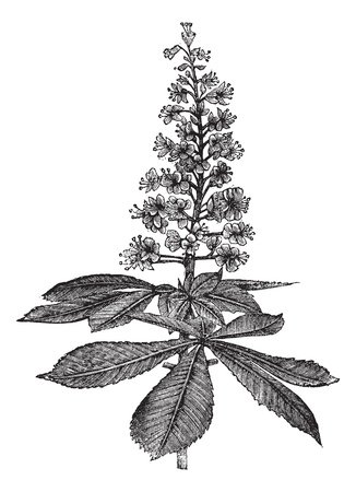buckeye tree: Horse-chestnut or Aesculus hippocastanum or Conker tree or Buckeye, vintage engraving. Old engraved illustration of Horse-chestnut isolated on a white background.