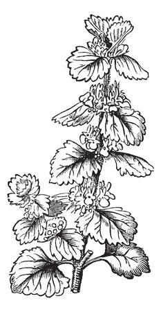 Common Horehound or Marrubium vulgare or White Horehound, vintage engraving. Old engraved illustration of Common Horehound isolated on a white background. Illustration