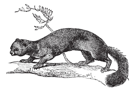 marten: European Pine Marten or Martes martes or Pine marten or Pineten or Baum marten or Sweet marten, vintage engraving. Old engraved illustration of European Pine Marten on a tree.