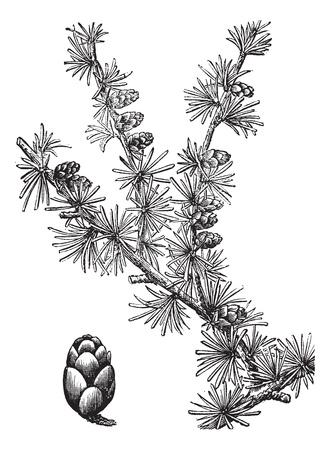 arboles blanco y negro: Tamarack (Larix Americana) o alerce americano o alerce, vintage grabado ilustración. Enciclopedia Trousset (1886 - 1891).