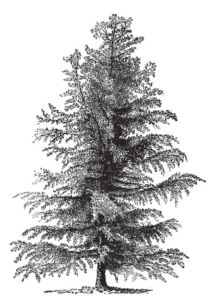 conifer: European larch (Larix Europaea) or Larix decidua, vintage engraved illustration. Trousset encyclopedia (1886 - 1891).
