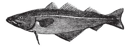 Common whiting (merlangus purpureus), vintage engraved illustration. Trousset encyclopedia (1886 - 1891). Stock Vector - 13770721