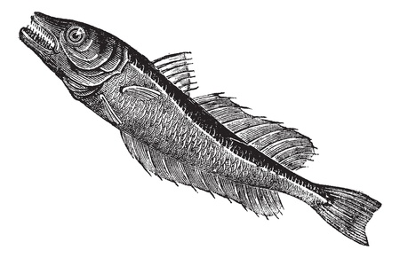 hake: Common European hake (Merluccius vulgaris), vintage engraved illustration. Trousset encyclopedia (1886 - 1891).