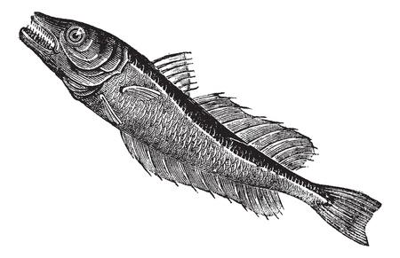 Common European hake (Merluccius vulgaris), vintage engraved illustration. Trousset encyclopedia (1886 - 1891). Vector