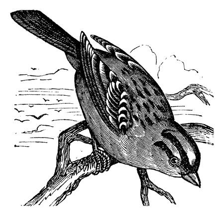 rúdon ülés: Fehér koronás veréb (Zonotrichia leucophrys), szüret, bevésett illusztráció. Trousset enciklopédia (1886-1891).