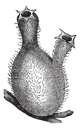 Sea grapes or Molgula, vintage engraved illustration. Trousset encyclopedia (1886 - 1891).