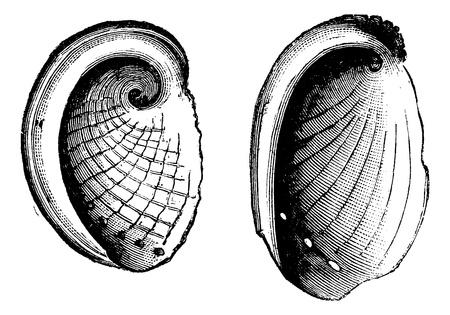 etching pattern: Haliotis tuberculatus, Haliotis Dubria, vintage engraved illustration.  Trousset encyclopedia (1886 - 1891). Illustration