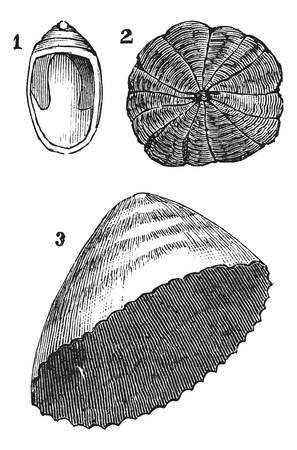 molluscs: Molluscs univalves 1. Navicelle 2. Umbrella 3. limpet, vintage engraved illustration. Trousset encyclopedia (1886 - 1891). Illustration