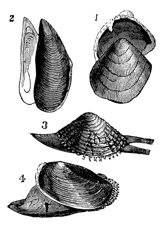 mollusc: Mollusc. 1.  Nutlet; 2. Mold; 3. From Warty; 4. Anodonta ducks, vintage engraved illustration.  Trousset encyclopedia (1886 - 1891). Illustration