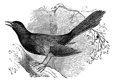ruiseñor: Burlándose de la carolina (Mimus carolinensis), cosecha ilustración grabada. Enciclopedia Trousset (1886 - 1891).