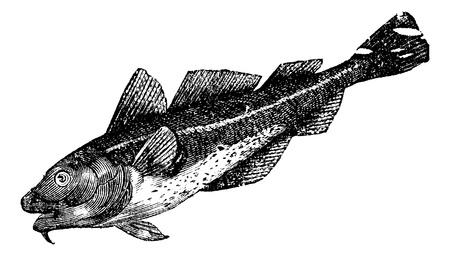 대구 미국 (morrhua 아메리), 빈티지 새겨진 그림. Trousset 백과 사전 (1886-1891).