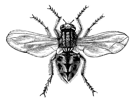 Housefly (Musca domestica) or Common housefly or House-fly, magnified, vintage engraved illustration. Trousset encyclopedia (1886 - 1891). Ilustracja