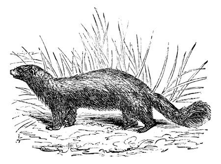 omnivorous: Common skunk (Mephitis mephitica) or polecats vintage engraved illustration. Trousset encyclopedia (1886 - 1891). Illustration