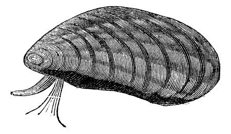 Mussels (Mytilus edulis) isolated on white, vintage engraved illustration. Trousset encyclopedia (1886 - 1891). Vector