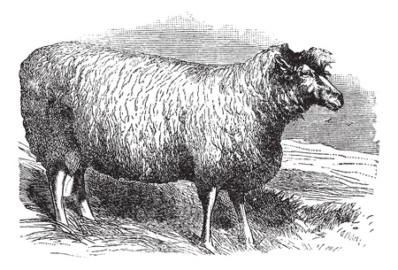 english countryside: Leicester sheep or Bakewell Leicester or Dishley Leicester or Improved Leicester or Leicester Longwool or English Leicester, vintage engraved illustration. Trousset encyclopedia (1886 - 1891).