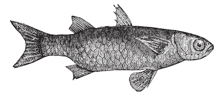 Striped Mullet (Mugil Lineatus) or flathead mullet fish, vintage engraved illustration. Trousset encyclopedia (1886 - 1891). Vector